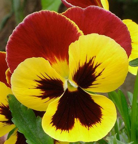 cvetdan