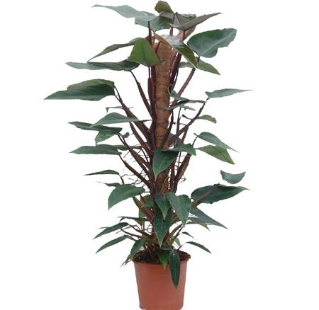 filadendron