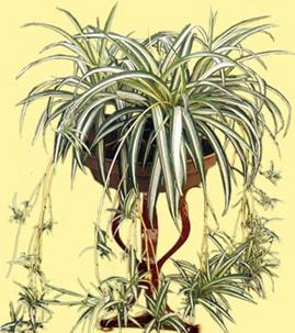 hlorofitum