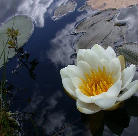 lotosu