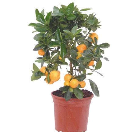 pomarandza