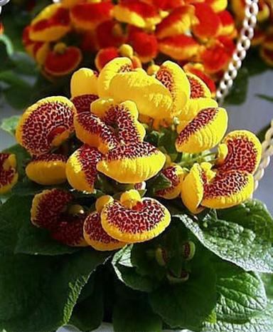 Cveće slike - Page 3 Kalceoralija